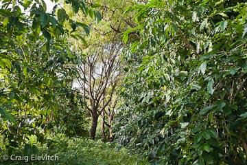 Neem trees (center) growing within a Kona coffee orchard for shade, insecticidal properties, timber, and medicine.