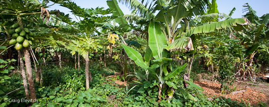 A large percentage of open pollinated papayas contain genetically modified DNA.