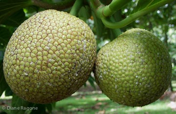 A breadfruit (on left) at the perfect stage of maturity to harvest.