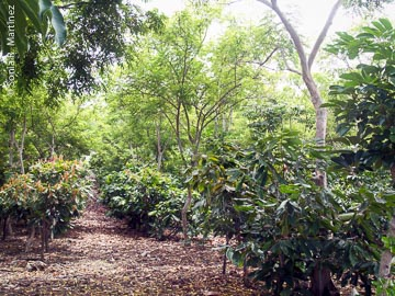 Agroforestry planting system at Kokoleka Lani Farms. The cacao trees benefit from the shade and organic matter provided by the overstory trees.